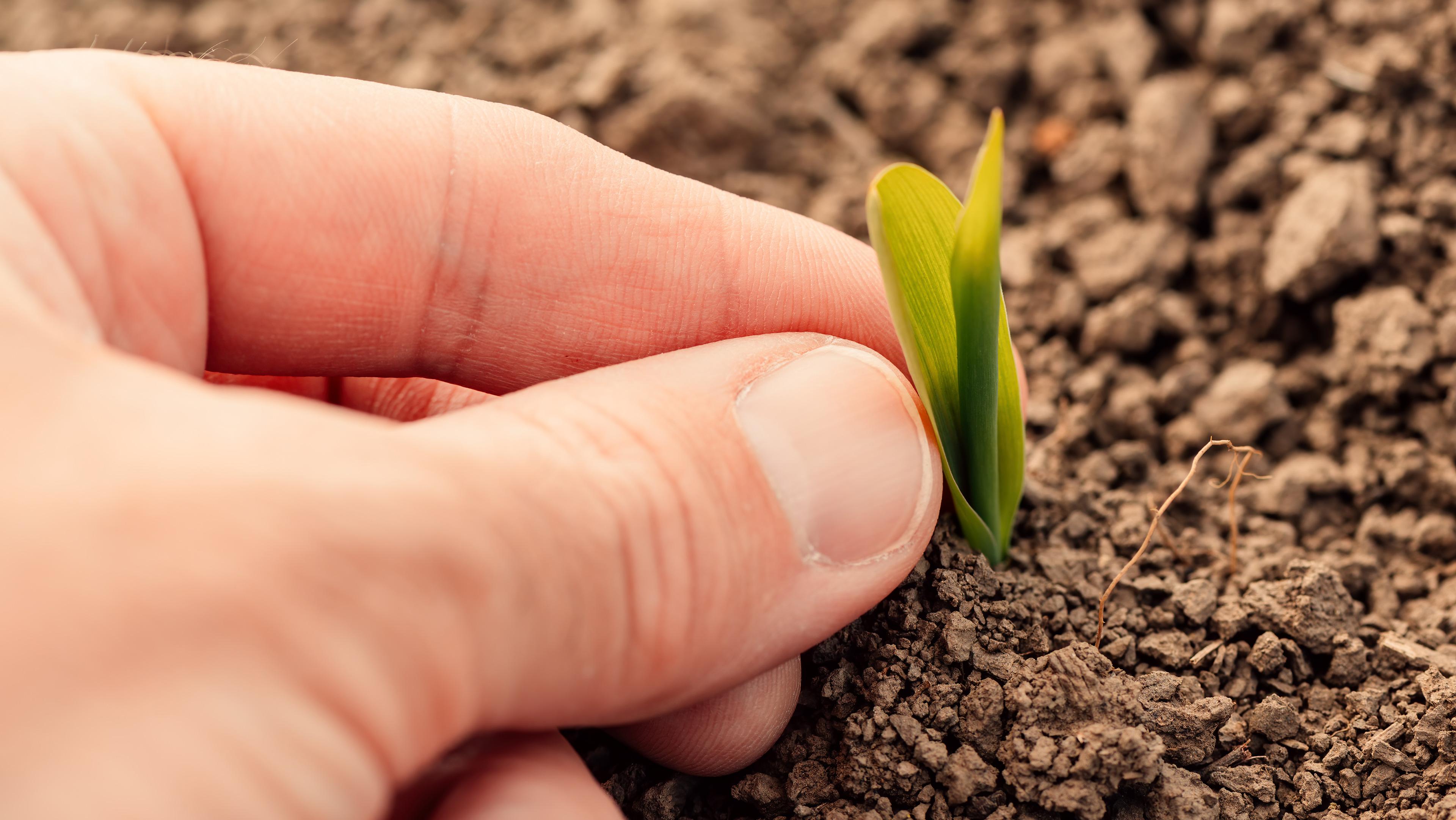 hand-maize-seedling